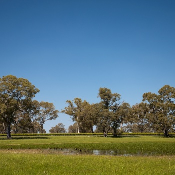 looking across the swamp paddock to Hilton Block Cabernet Sauvignon