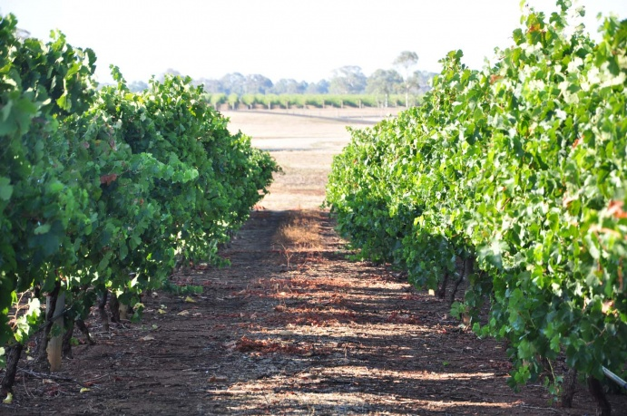 Quarry block Merlot in summer